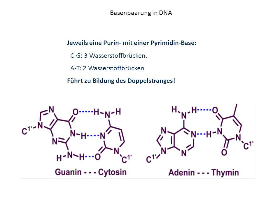 Basenpaarung in DNA Jeweils eine Purin- mit einer Pyrimidin-Base: C-G: 3 Wasserstoffbrücken, A-T: 2 Wasserstoffbrücken Führt zu Bildung des Doppelstra