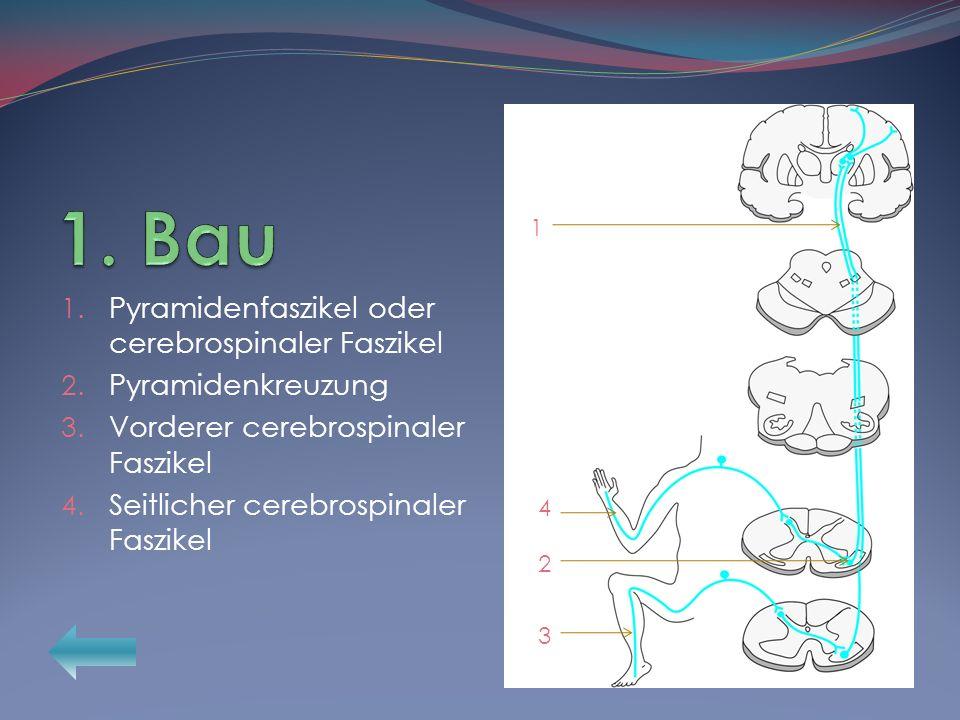 1. Pyramidenfaszikel oder cerebrospinaler Faszikel 2. Pyramidenkreuzung 3. Vorderer cerebrospinaler Faszikel 4. Seitlicher cerebrospinaler Faszikel 1