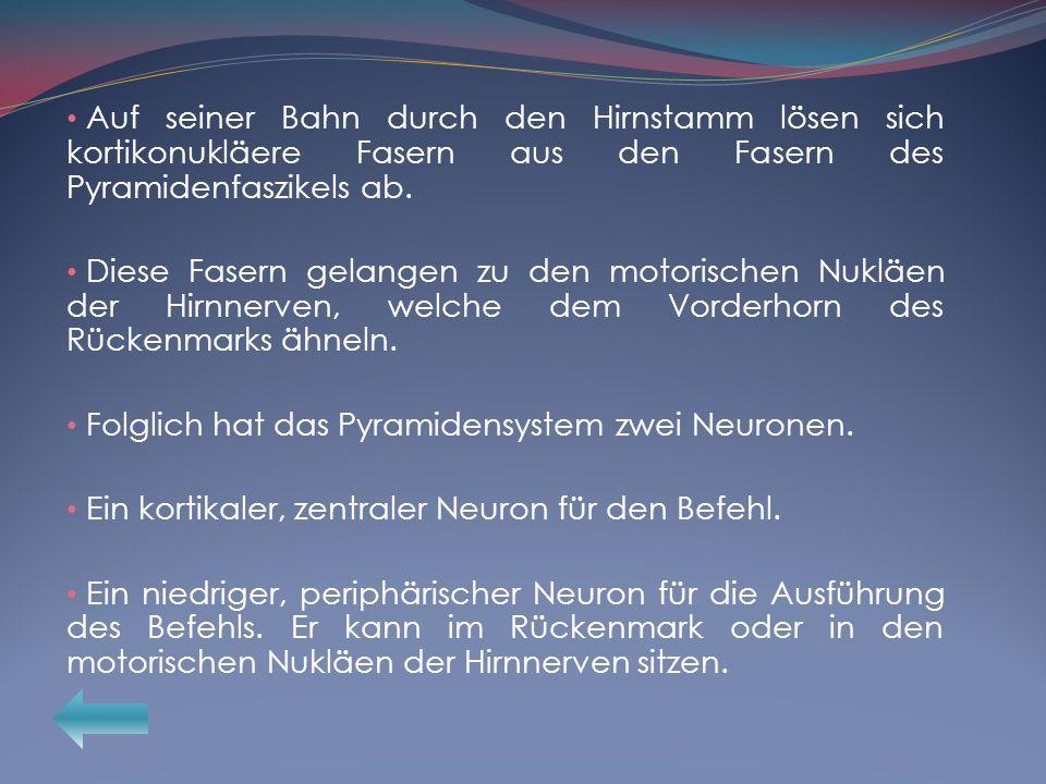 Auf seiner Bahn durch den Hirnstamm lösen sich kortikonukläere Fasern aus den Fasern des Pyramidenfaszikels ab. Diese Fasern gelangen zu den motorisch