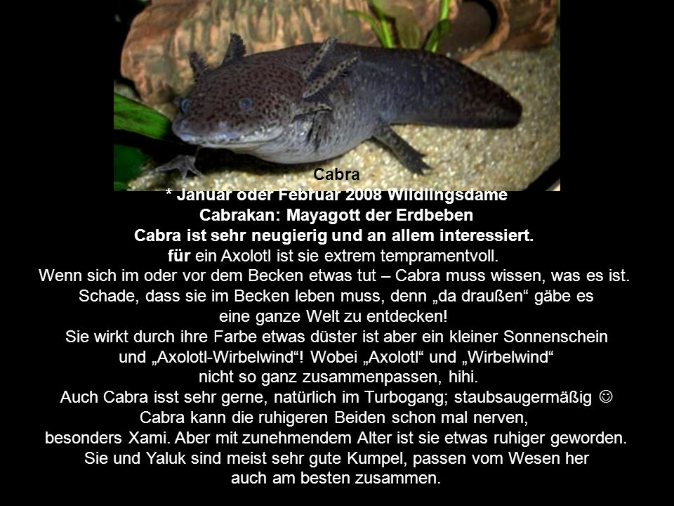 Cabra * Januar oder Februar 2008 Wildlingsdame Cabrakan: Mayagott der Erdbeben Cabra ist sehr neugierig und an allem interessiert.