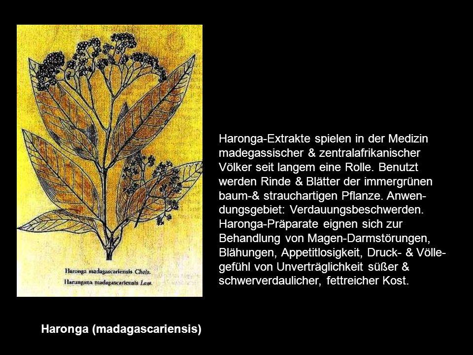 Hamamelis (virginiana) Der Strauch stammt aus dem östlichen Nordamerika (Indianische Volksmedizin) Die Hamamelis Zäpfchen & Salben werden aus frischen
