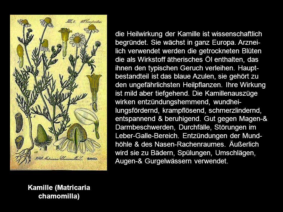 Hopfen (Humulus lupulus) Der grüne Fruchtzapfen der weiblichen Blüte mit ihrem Hopfenmehl geben dem Bier den angenehmen bitteren Geschmack & erhöht se