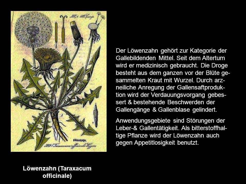Königin der Nacht (Cereus grandiflorus) ist ein tropischer Kaktus, der so heißt, weil seine großen nach Vanille duftenden Blüten sich nur eine einzige
