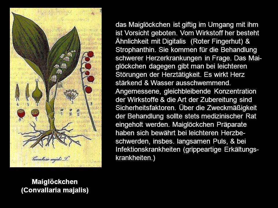 Löwenzahn (Taraxacum officinale) Der Löwenzahn gehört zur Kategorie der Gallebildenden Mittel. Seit dem Altertum wird er medizinisch gebraucht. Die Dr