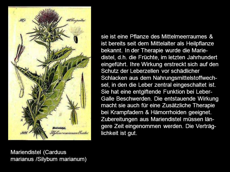 Maiglöckchen (Convallaria majalis) das Maiglöckchen ist giftig im Umgang mit ihm ist Vorsicht geboten. Vom Wirkstoff her besteht Ähnlichkeit mit Digit
