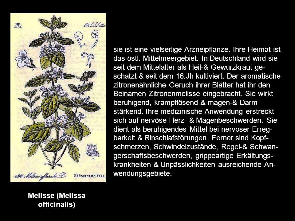 Mariendistel (Carduus marianus /Silybum marianum) sie ist eine Pflanze des Mittelmeerraumes & ist bereits seit dem Mittelalter als Heilpflanze bekannt