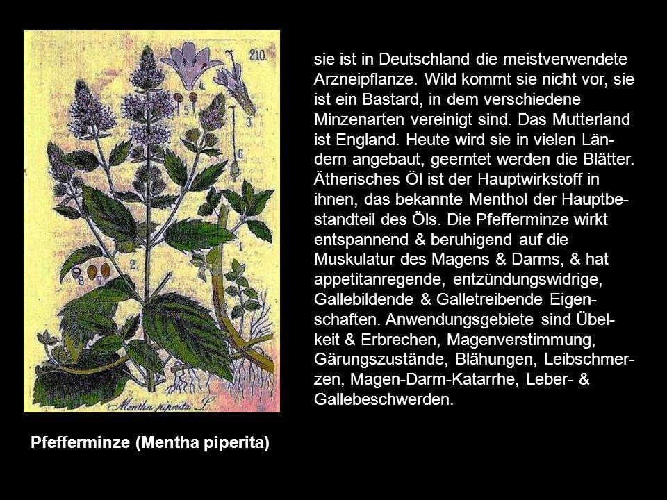 Passionsblume (Passiflora incarnata) sie ist in den warmen Ländern Amerikas heimisch & wird in der Volksmedizin als allgemeines Beruhigungsmittel benu
