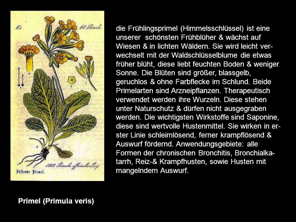 Pfefferminze (Mentha piperita) sie ist in Deutschland die meistverwendete Arzneipflanze. Wild kommt sie nicht vor, sie ist ein Bastard, in dem verschi