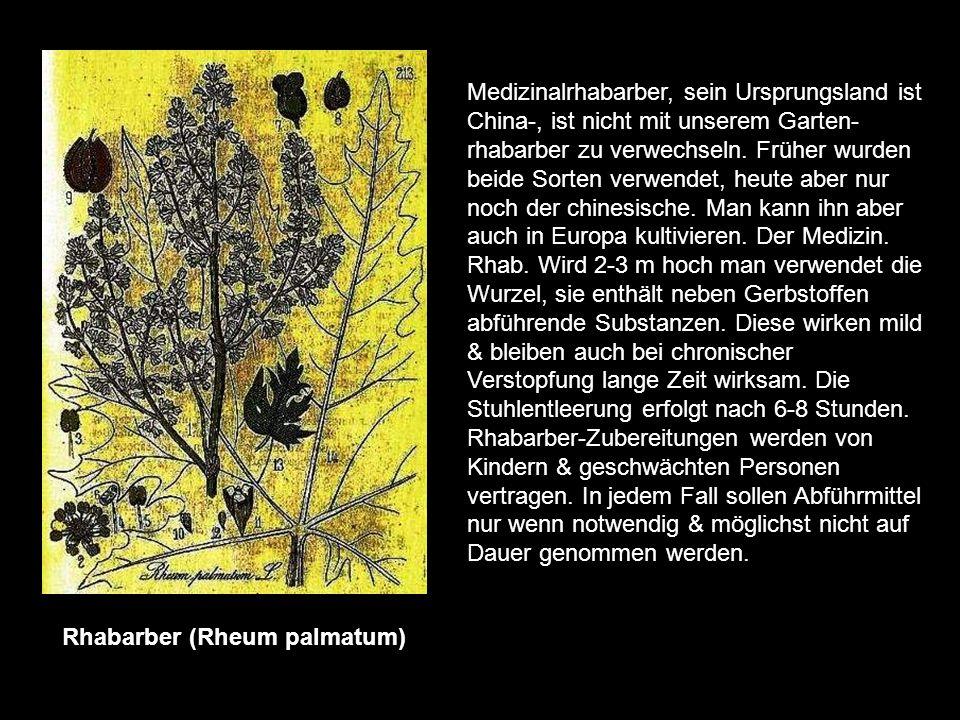 Primel (Primula veris) die Frühlingsprimel (Himmelsschlüssel) ist eine unserer schönsten Frühblüher & wächst auf Wiesen & in lichten Wäldern. Sie wird