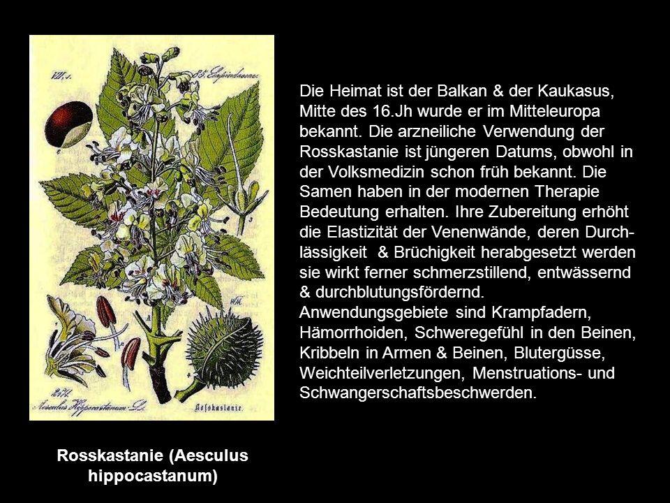 Rhabarber (Rheum palmatum) Medizinalrhabarber, sein Ursprungsland ist China-, ist nicht mit unserem Garten- rhabarber zu verwechseln. Früher wurden be
