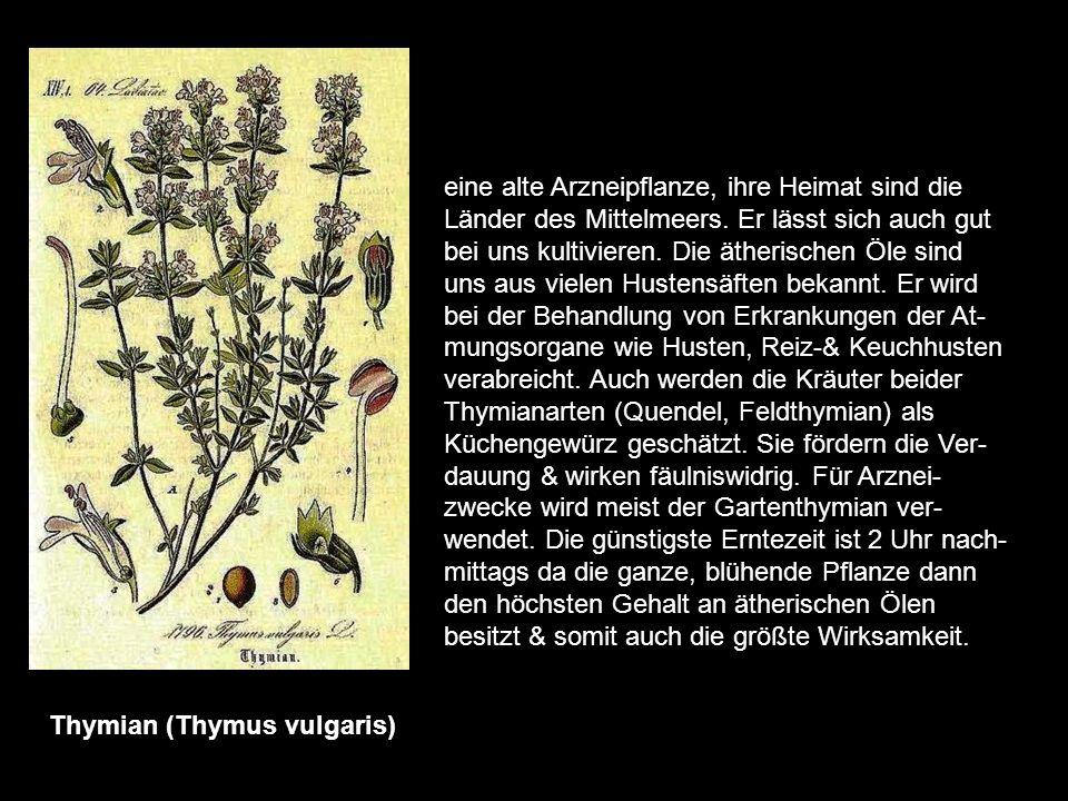 Senna (Cassia angustifolia) Sennesblätter & Schoten gehören zu den bekanntesten pflanzlichen Abführmitteln. Sie stammen aus dem tropischen Afrika & Sü