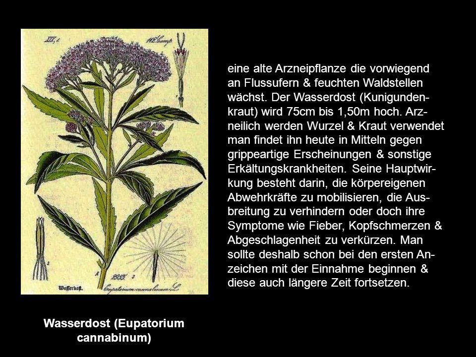 Thymian (Thymus vulgaris) eine alte Arzneipflanze, ihre Heimat sind die Länder des Mittelmeers. Er lässt sich auch gut bei uns kultivieren. Die ätheri