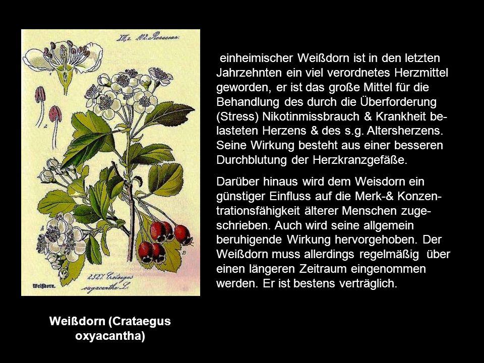 Wasserdost (Eupatorium cannabinum) eine alte Arzneipflanze die vorwiegend an Flussufern & feuchten Waldstellen wächst. Der Wasserdost (Kunigunden- kra