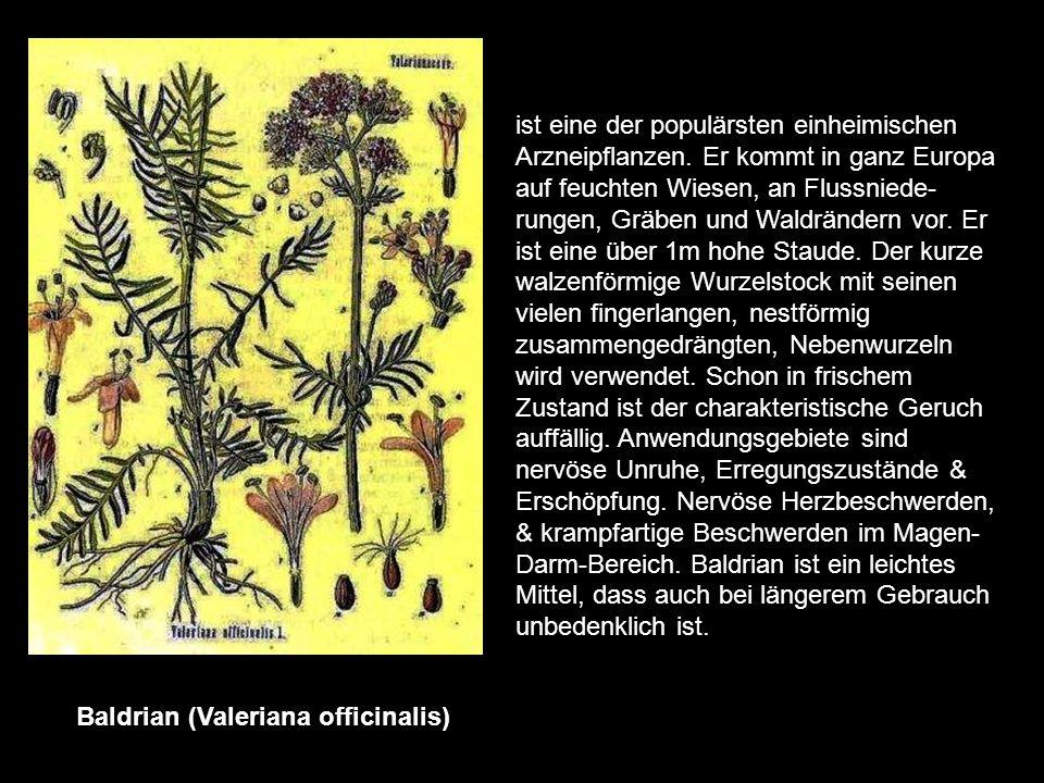 Arnika (Arnica montana) ist eine Pflanze der Berge wird 50-60cm hoch & steht unter Naturschutz. Medizinisch finden die Blüten & die Wurzeln bzw. der W
