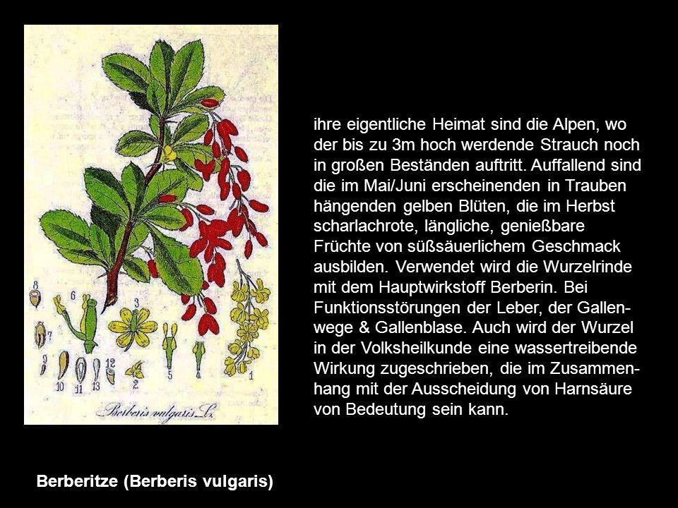 Baldrian (Valeriana officinalis) ist eine der populärsten einheimischen Arzneipflanzen. Er kommt in ganz Europa auf feuchten Wiesen, an Flussniede- ru