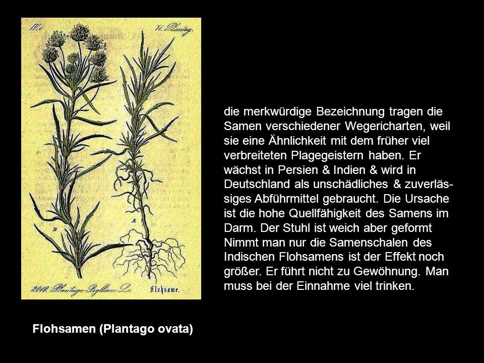 Berberitze (Berberis vulgaris) ihre eigentliche Heimat sind die Alpen, wo der bis zu 3m hoch werdende Strauch noch in großen Beständen auftritt. Auffa