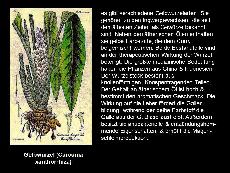 Flohsamen (Plantago ovata) die merkwürdige Bezeichnung tragen die Samen verschiedener Wegericharten, weil sie eine Ähnlichkeit mit dem früher viel ver