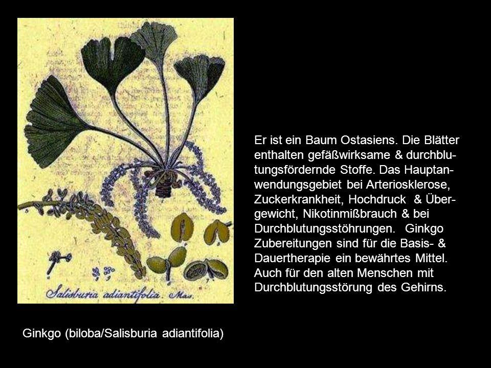 Gelbwurzel (Curcuma xanthorrhiza) es gibt verschiedene Gelbwurzelarten. Sie gehören zu den Ingwergewächsen, die seit den ältesten Zeiten als Gewürze b