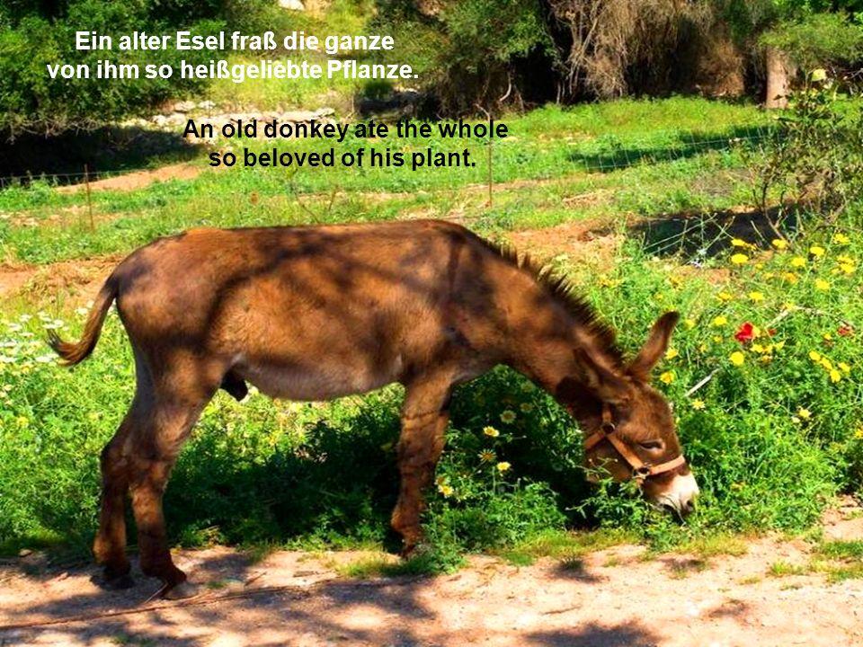Ein alter Esel fraß die ganze von ihm so heißgeliebte Pflanze.