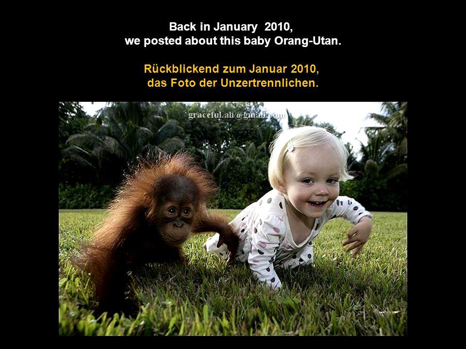 This little Girl is Still Best Buds with an Orang-Utan. Dieses kleine Mädchen und der Orang-Utan, sind die besten Freunde. hme12@t-online.de Klick!