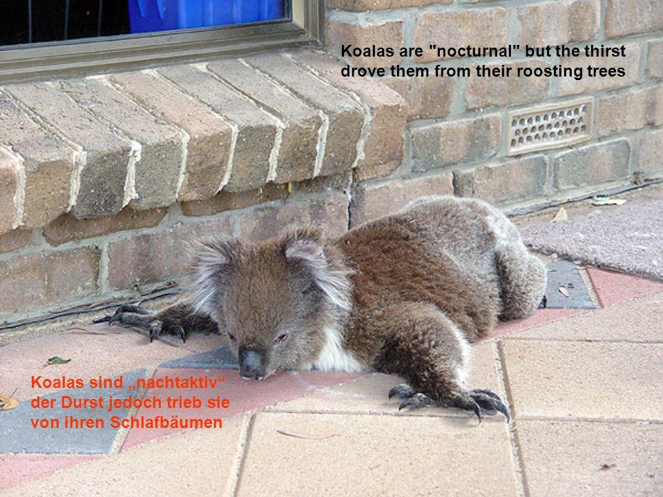 2009 bei der großen Dürre in Australien mussten sie sehr leiden.