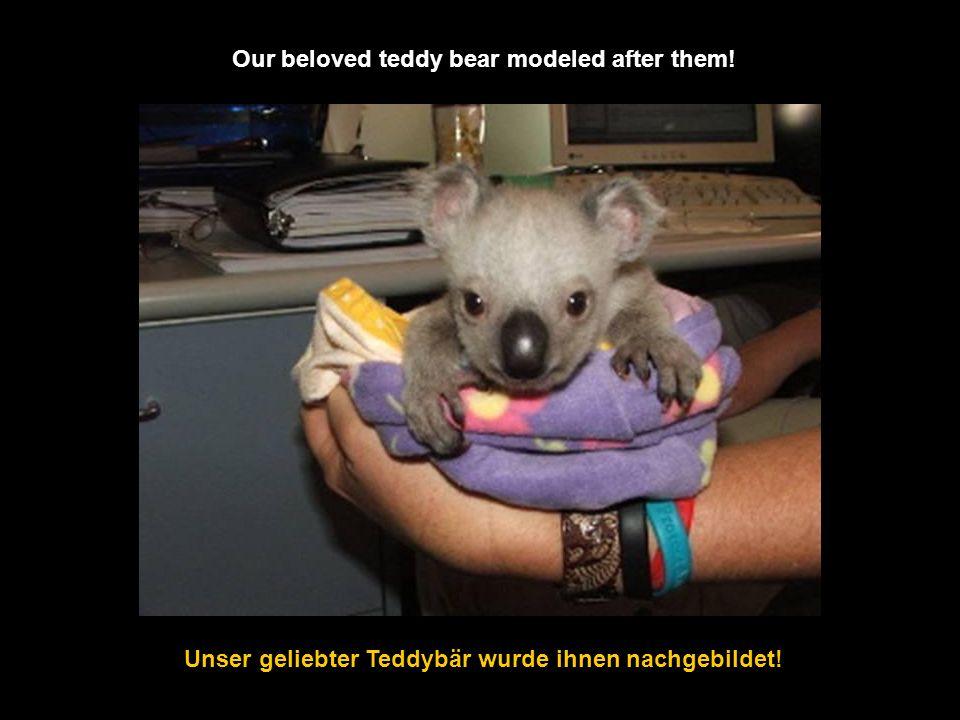 Koalas leben von den Blättern & der Rinde der Eukalyptusbäume Koalas live on the leaves & the bark of eucalyptus trees