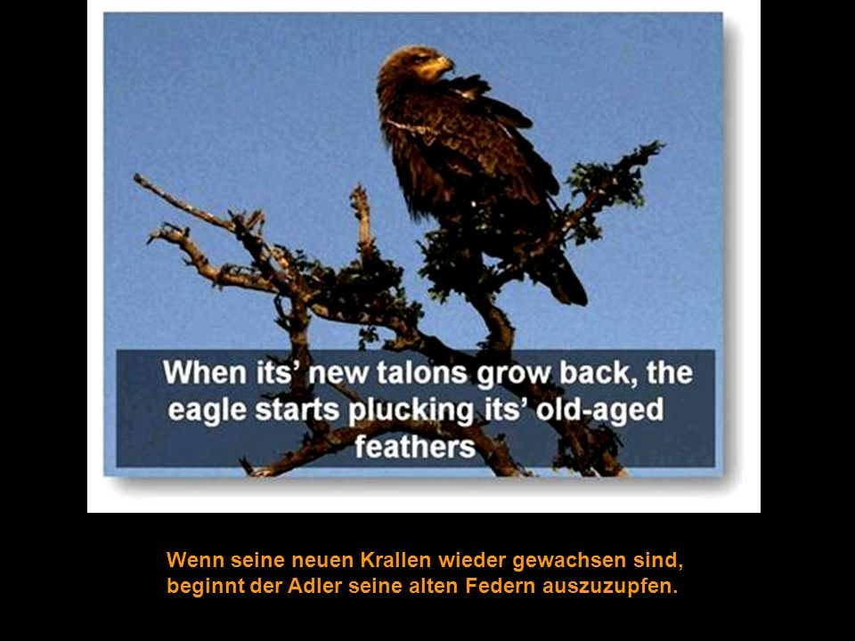 Nach dem Auszupfen wartet der Adler auf einen neuen Schnabel, und danach auf das Nachwachsen seiner Krallen.