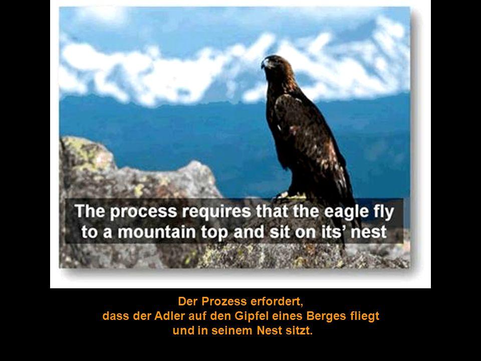 Der Prozess erfordert, dass der Adler auf den Gipfel eines Berges fliegt und in seinem Nest sitzt.