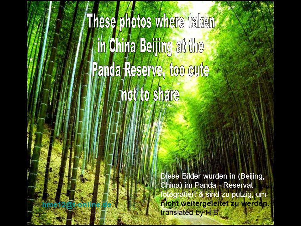 Diese Bilder wurden in (Beijing, China) im Panda - Reservat fotografiert & sind zu putzig, um nicht weitergeleitet zu werden.