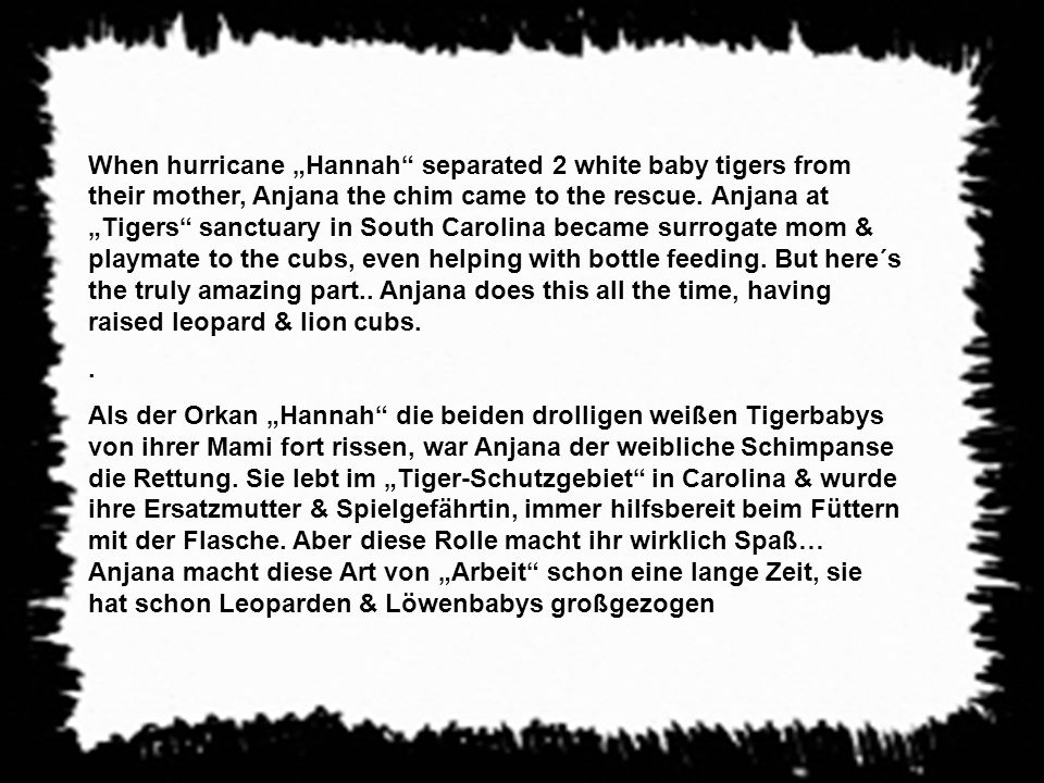 When hurricane Hannah separated 2 white baby tigers from their mother, Anjana the chim came to the rescue.