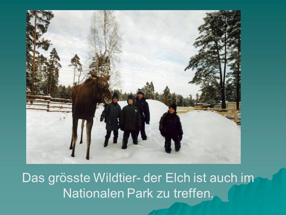 Das grösste Wildtier- der Elch ist auch im Nationalen Park zu treffen.