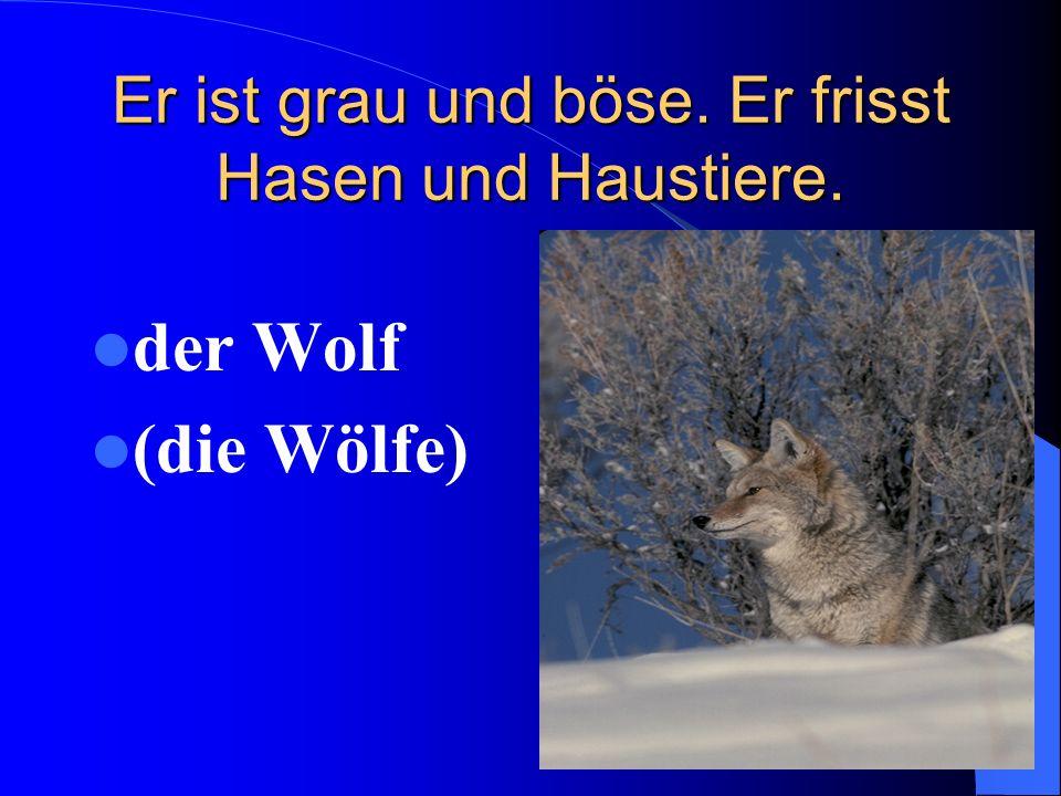 Er ist grau und böse. Er frisst Hasen und Haustiere. der Wolf (die Wölfe)