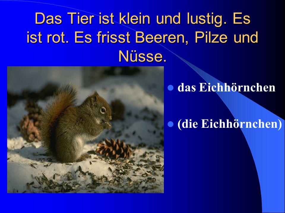 Das Tier ist klein und lustig. Es ist rot. Es frisst Beeren, Pilze und Nüsse. das Eichhörnchen (die Eichhörnchen)