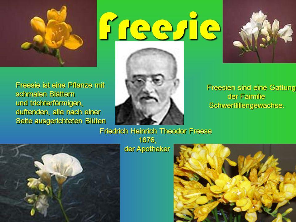 Freesie Freesie ist eine Pflanze mit schmalen Blättern und trichterförmigen, duftenden, alle nach einer Seite ausgerichteten Blüten Friedrich Heinrich Theodor Freese 1876, 1876, der Apotheker der Apotheker Freesien sind eine Gattung der Faimilie der Faimilie Schwertliliengewachse.