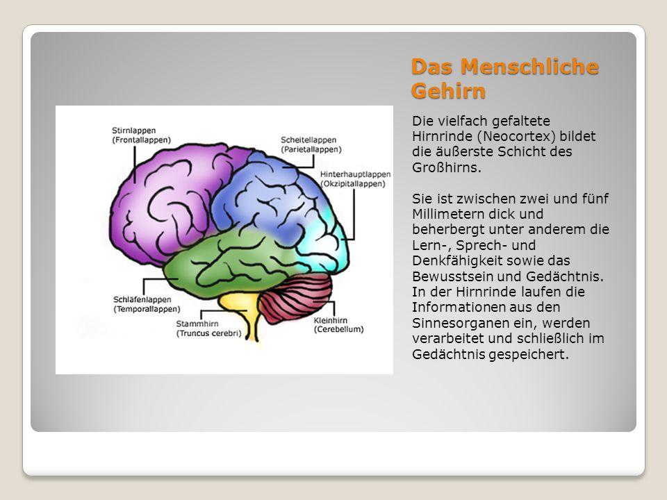 Das Menschliche Gehirn Die vielfach gefaltete Hirnrinde (Neocortex) bildet die äußerste Schicht des Großhirns. Sie ist zwischen zwei und fünf Millimet