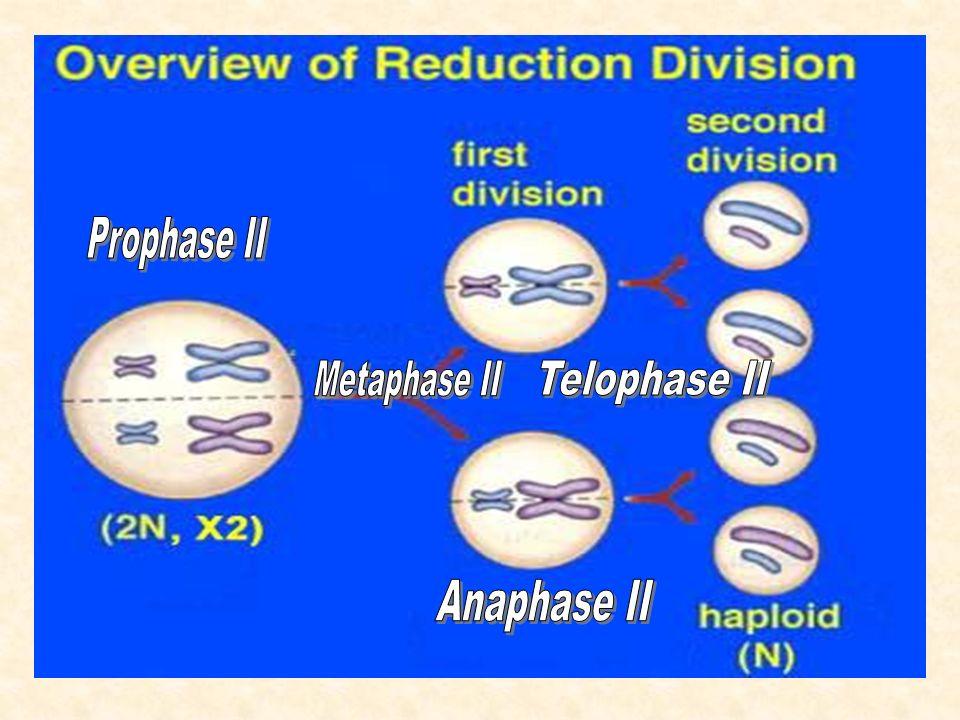 Diploid: Der Mensch ist diploid, besitzt also einen doppelten Chromosomensatz.