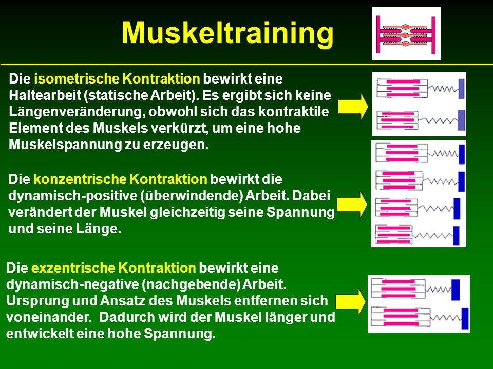 Muskeltraining Die konzentrische Kontraktion bewirkt die dynamisch-positive (überwindende) Arbeit. Dabei verändert der Muskel gleichzeitig seine Spann