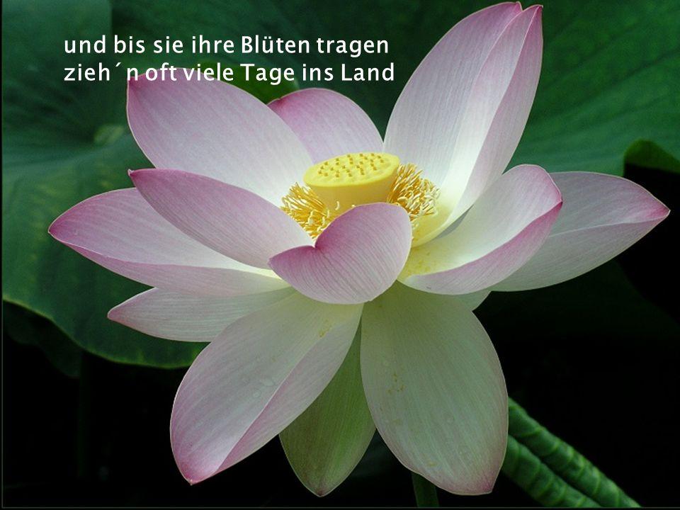 und bis sie ihre Blüten tragen zieh´n oft viele Tage ins Land