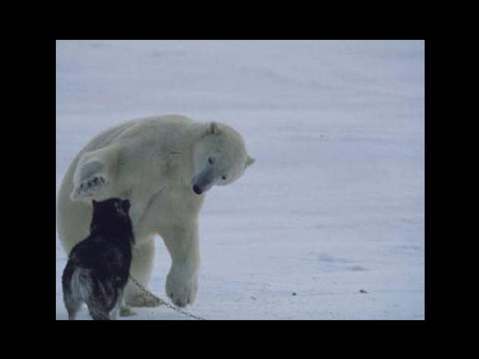 Der Eisbär ist eine ganze Woche, jede Nacht, zurück gekommen um mit den Hunden zu spielen … Der Eisbär ist eine ganze Woche, jede Nacht, zurück gekommen um mit den Hunden zu spielen …