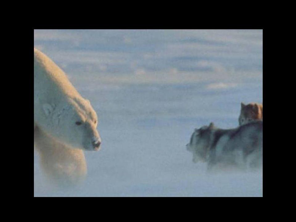 Der Fotograf sah seine Huskies vom Eisbär, der plötzlich auftauchte, schon aufgefressen … Der Fotograf sah seine Huskies vom Eisbär, der plötzlich auftauchte, schon aufgefressen …