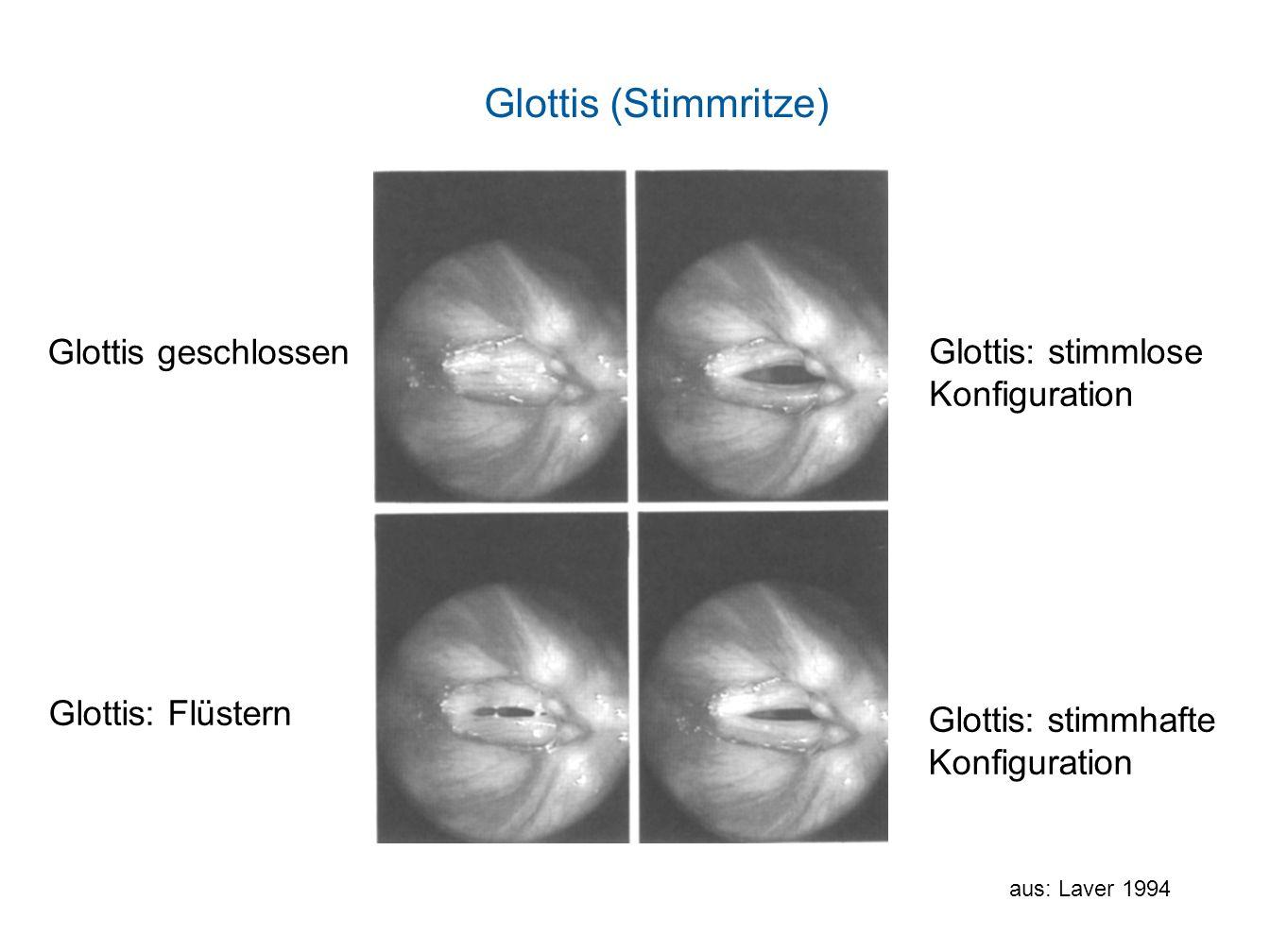 Glottis geschlossen Glottis: stimmlose Konfiguration Glottis: Flüstern Glottis: stimmhafte Konfiguration Glottis (Stimmritze) aus: Laver 1994