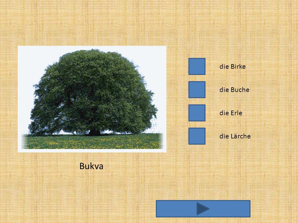 die Birke die Erle die Buche die Lärche Bukva