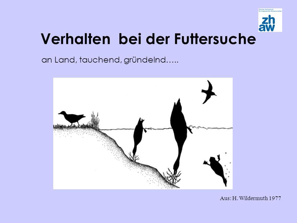 Verhalten bei der Futtersuche Aus: H. Wildermuth 1977 an Land, tauchend, gründelnd…..
