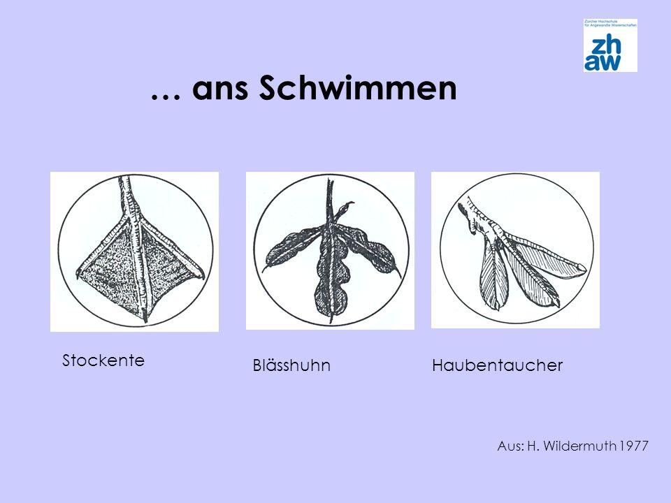 … ans Schwimmen Stockente BlässhuhnHaubentaucher Aus: H. Wildermuth 1977