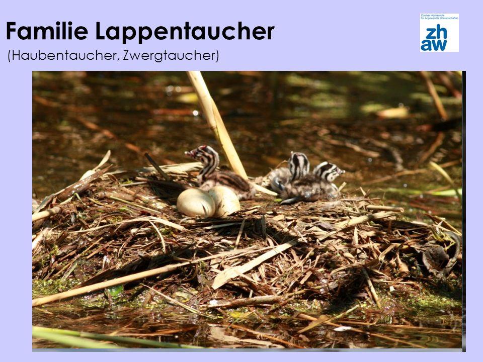 Familie Lappentaucher (Haubentaucher, Zwergtaucher)