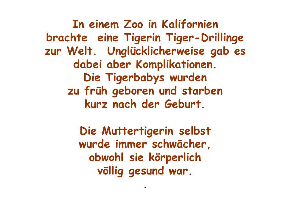 In einem Zoo in Kalifornien brachte eine Tigerin Tiger-Drillinge zur Welt. Unglücklicherweise gab es dabei aber Komplikationen. Die Tigerbabys wurden