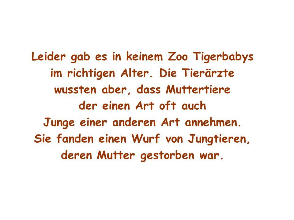 Leider gab es in keinem Zoo Tigerbabys im richtigen Alter. Die Tierärzte wussten aber, dass Muttertiere der einen Art oft auch Junge einer anderen Art