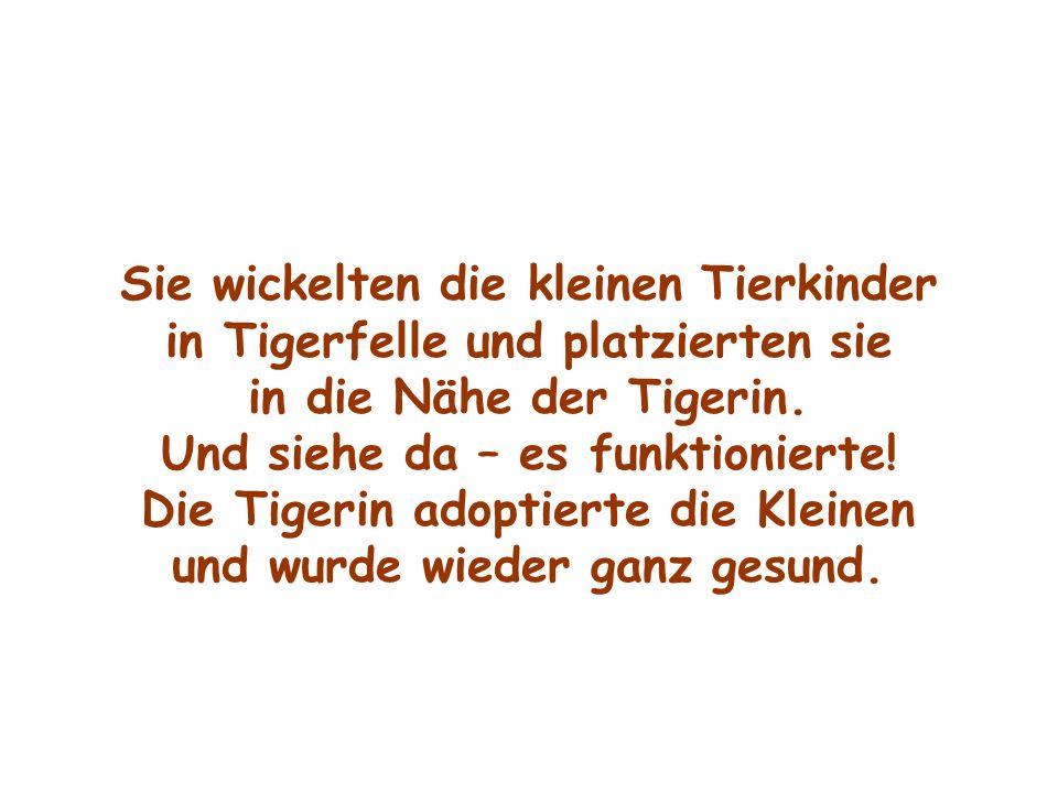 Sie wickelten die kleinen Tierkinder in Tigerfelle und platzierten sie in die Nähe der Tigerin. Und siehe da – es funktionierte! Die Tigerin adoptiert