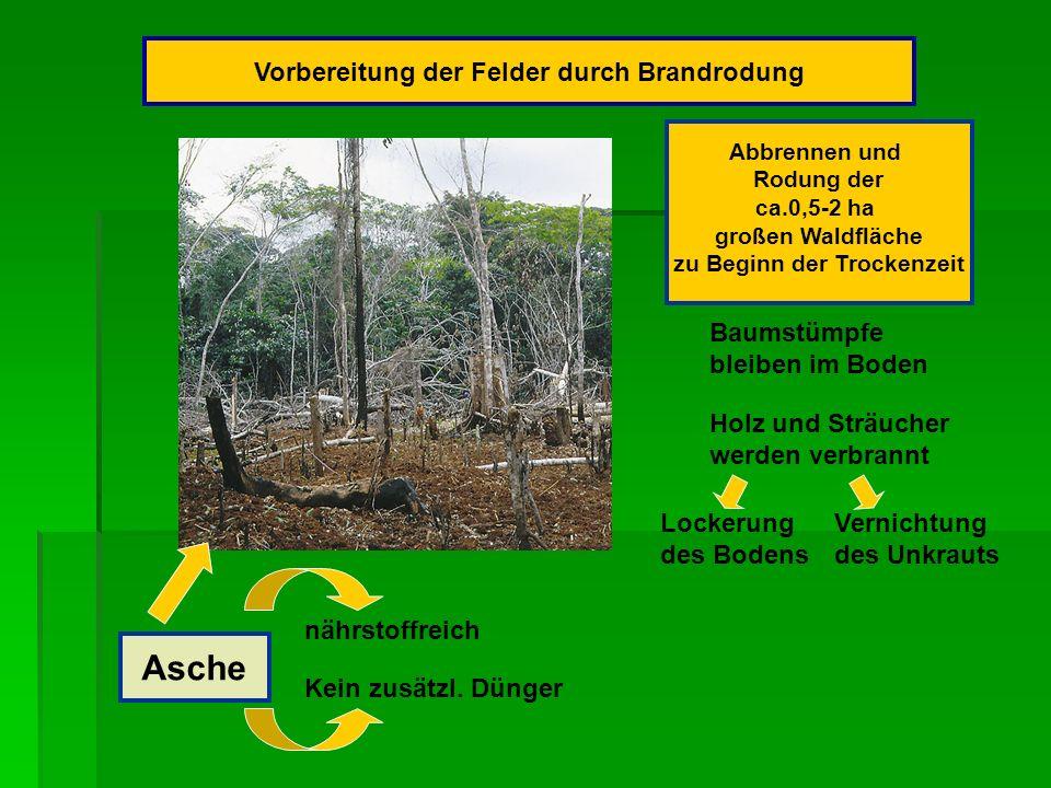 Asche Vorbereitung der Felder durch Brandrodung Abbrennen und Rodung der ca.0,5-2 ha großen Waldfläche zu Beginn der Trockenzeit Baumstümpfe bleiben im Boden Holz und Sträucher werden verbrannt Lockerung des Bodens Vernichtung des Unkrauts nährstoffreich Kein zusätzl.