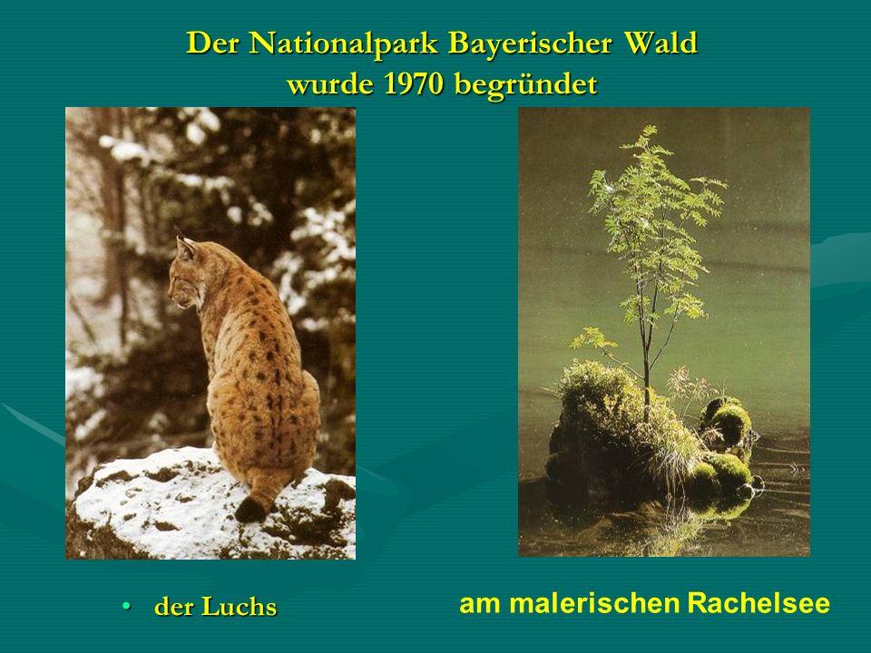 Der Nationalpark Bayerischer Wald wurde 1970 begründet der Luchsder Luchs am malerischen Rachelsee